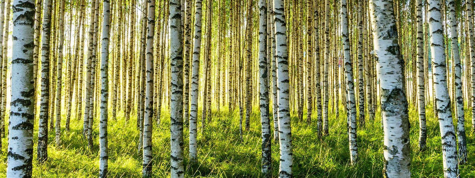Getränkequelle ohne Limit: Birkenwasser muss vor dem Austreiben der Blätter geerntet werden.