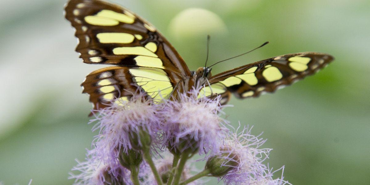 Die Schmetterlinge in Grevenmacher stammen mehrheitlich aus Costa Rica und den Philippinen.