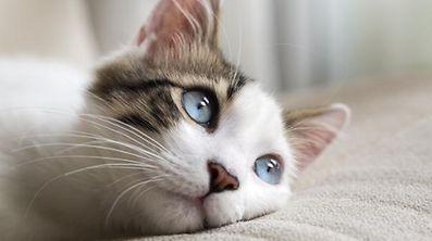 Tatsächlich haben Katzen ein besonders vitales Immunsystem, in dem das Schnuren eine bedeutende Rolle spielt.