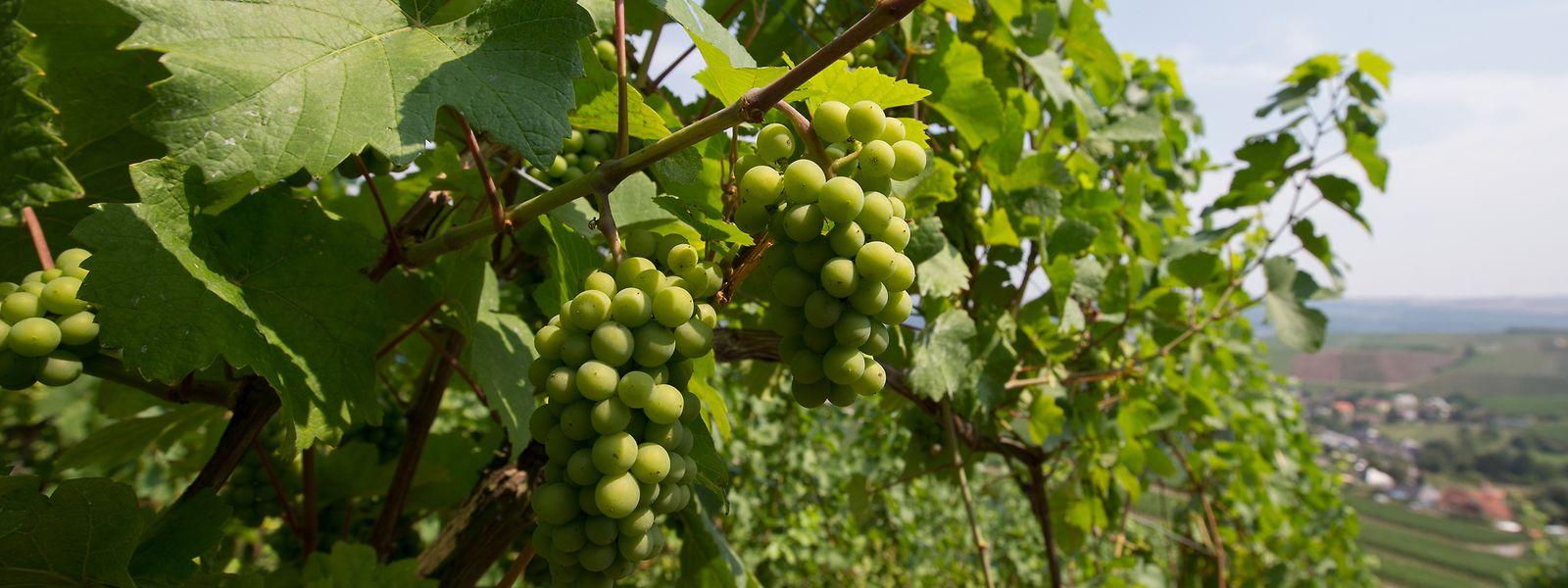 Le territoire grandit mais le cahier des charges reste toujours aussi strict pour les vignerons.
