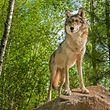 Le loup repéré au Luxembourg est un loup gris (canis lupus).