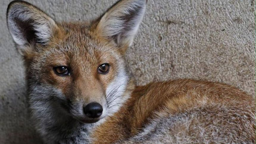 Rafi the Rock-A-Field fox released into the wild