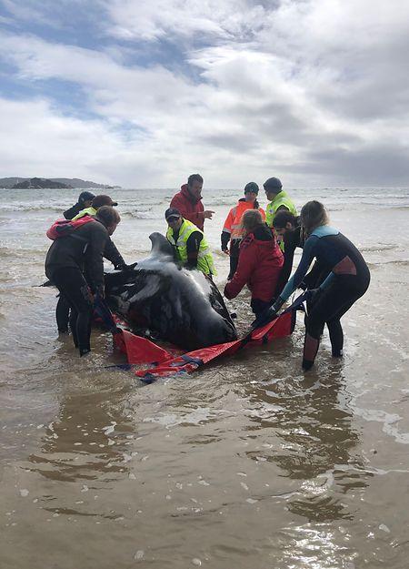 Retter tragen einen Wal in Macquarie Harbour zurück ins Wasser.