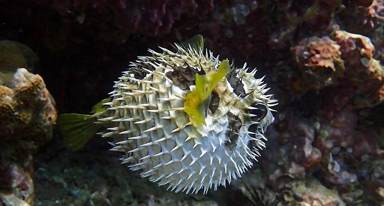 Porcupine,Fish.,Inflated,Puffer,Fish.,Porcupinefish,Like,A,Balloon.,Scared