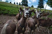 Mit Schweinen und der Thüringer Waldziegenherde trägt der Hof von Johannes Till zum Erhalt der Kulturlandschaft bei.