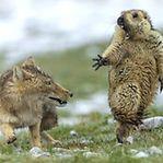 Marmota assustada, fotografia premiada