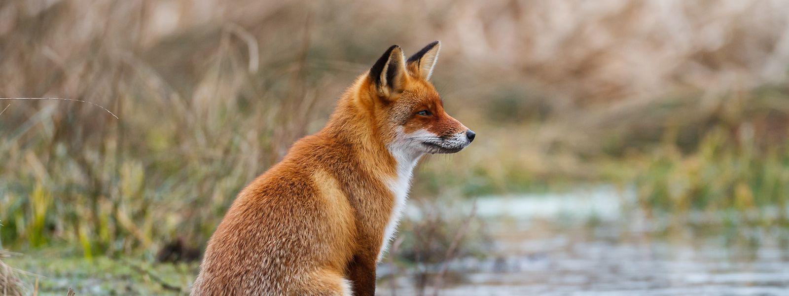 Füchse dürfen ab April in Luxemburg für ein Jahr lang nicht mehr gejagt werden.