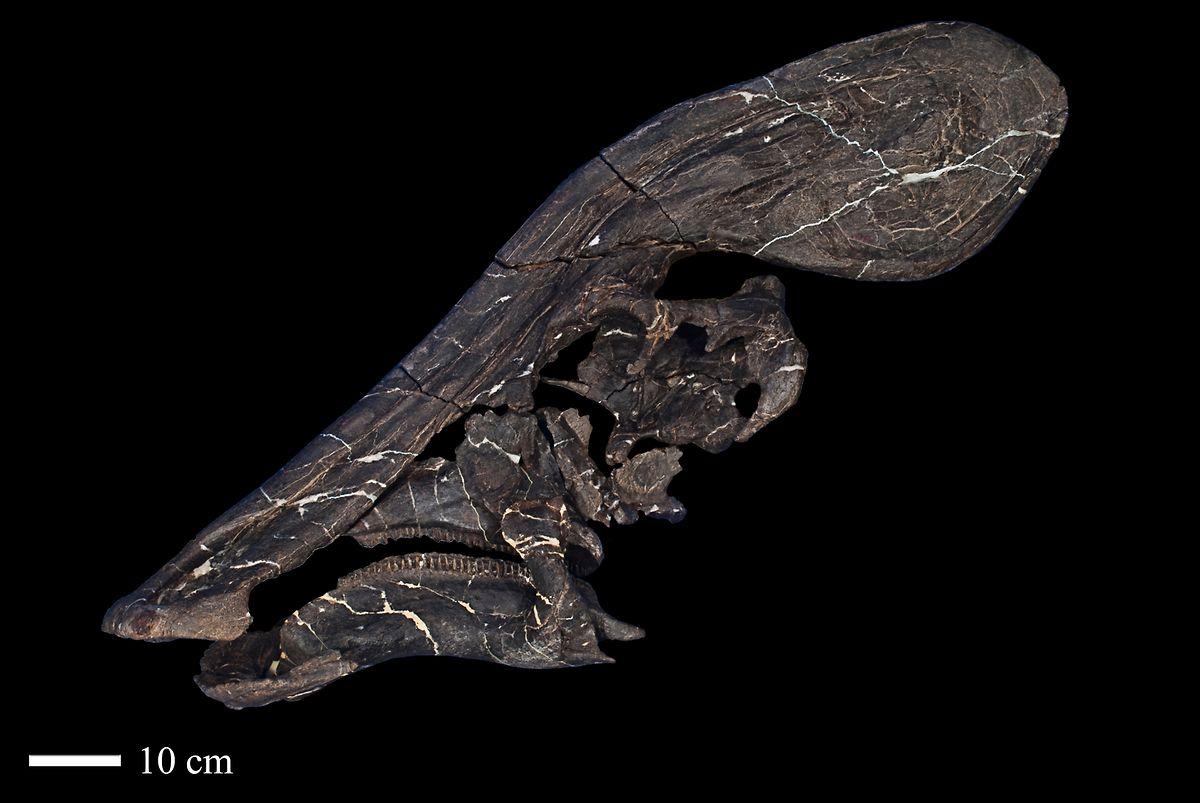 Das Bild zeigt das Kopffossil eines Exemplars der Art Tlatolophus galorum.