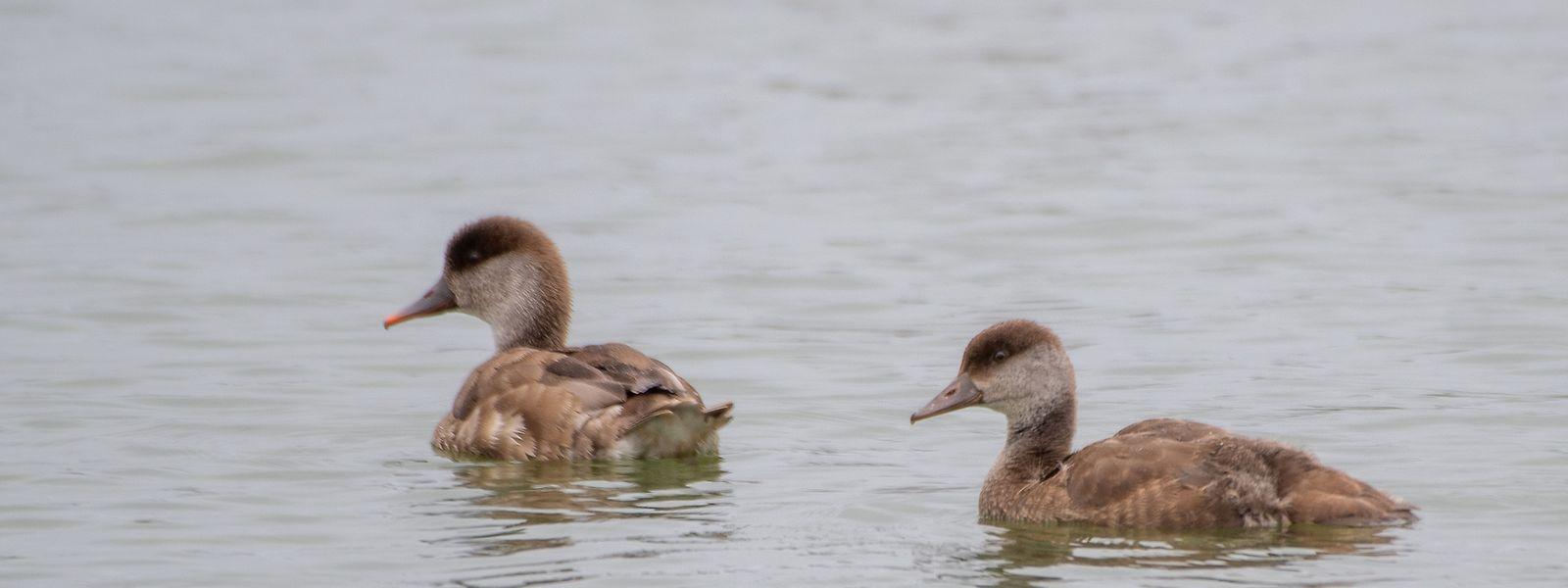 Nach Angaben von natur & ëmwelt konnte im Gebiet ein Weibchen mit einem etwa drei Wochen alten Jungvogel (im Bild rechts) festgestellt werden.