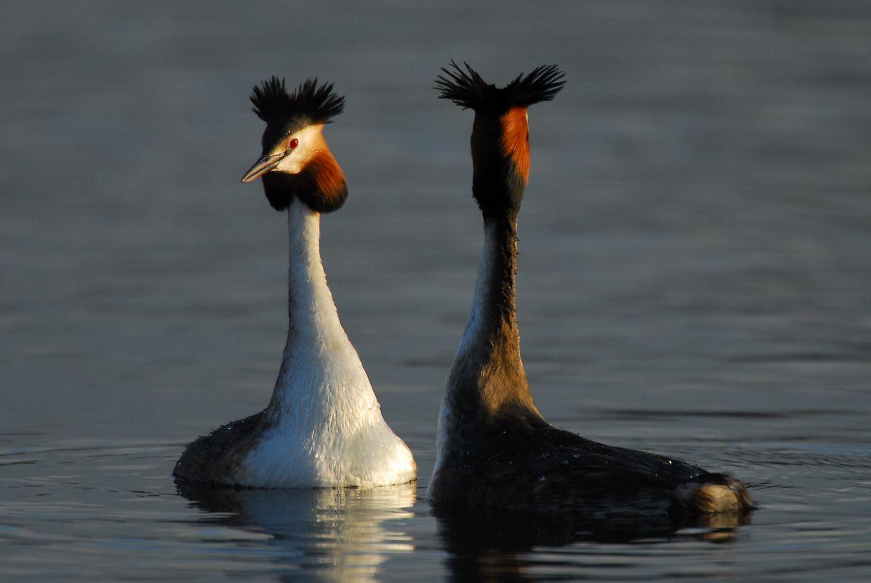 """Der Haubentaucher gilt als Symbolvogel des """"Haff Réimech"""". 15 bis 20 Brutpaare des Vogels sind im Naturreservat das ganze Jahr über gut zu beobachten."""