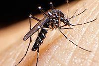 Die asiatische Tigermücke wird demnächst in Luxemburg heimisch werden. Mangels Erreger wird aber nicht gleich jeder Stich krank machen.