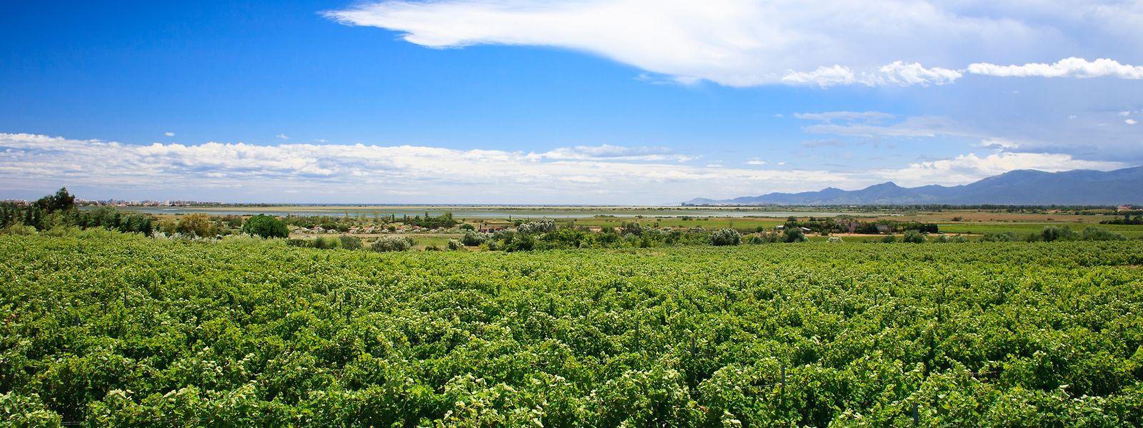Avec 53 cépages qui y mûrissent, le Languedoc-Roussillon est la région du plus grand domaine viticole au monde.