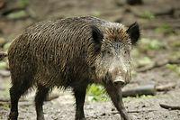 Die afrikanische Schweinepest könnte von Jägern importiert worden sein.