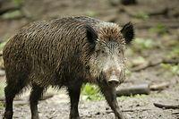 Die kranken Tiere sterben wenige Tage nach der Infizierung.