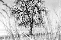 Symbolisch für die große Dürremisere steht dieser abgestorbene Baum inmitten ausgedorrter Weiden.Hitzewelle / Trockenheit.Foto: Le Sibenaler/Phototheque de la ville de Luxembourg/19760703