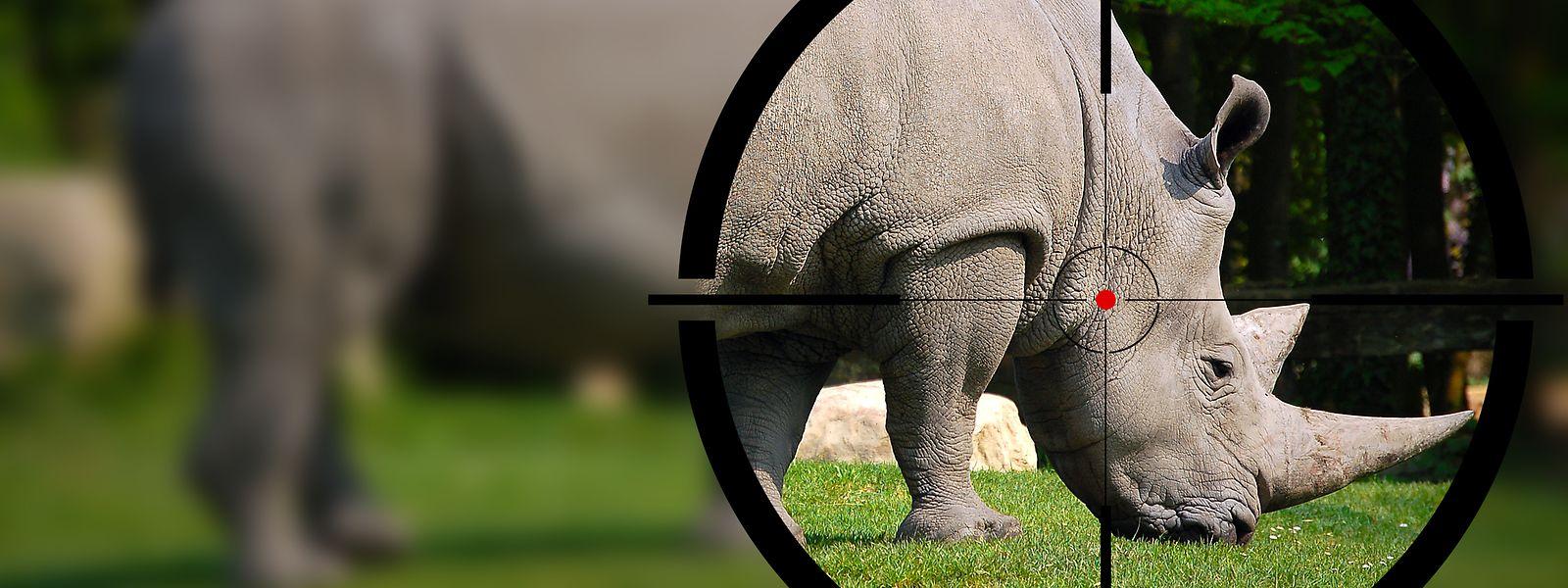 In Asien gilt das Nashorn-Horn als Wundermittel. Sein Wert erzielt höhere Preise als Gold.