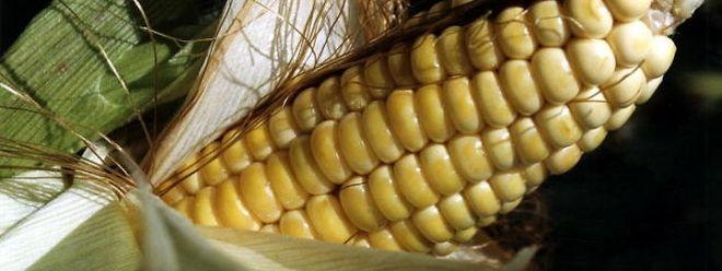 La moitié des États membres de l'UE ont notifié à la Commission leur souhait de s'opposer à la culture d'OGM sur tout ou une partie de leur territoire