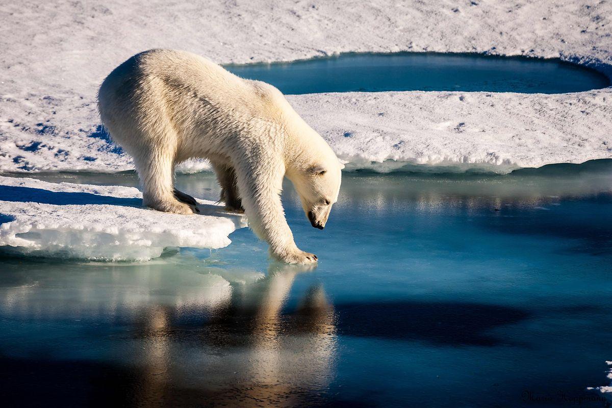 Das Eis in der Arktis schmilzt – und das sensible Ökosystem droht aus den Fugen zu geraten.