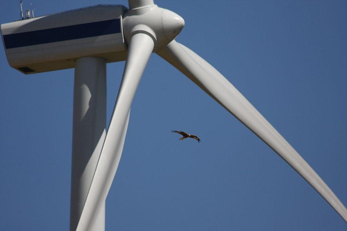Ein Rotmilan an Windkraftanlage in Deutschland.