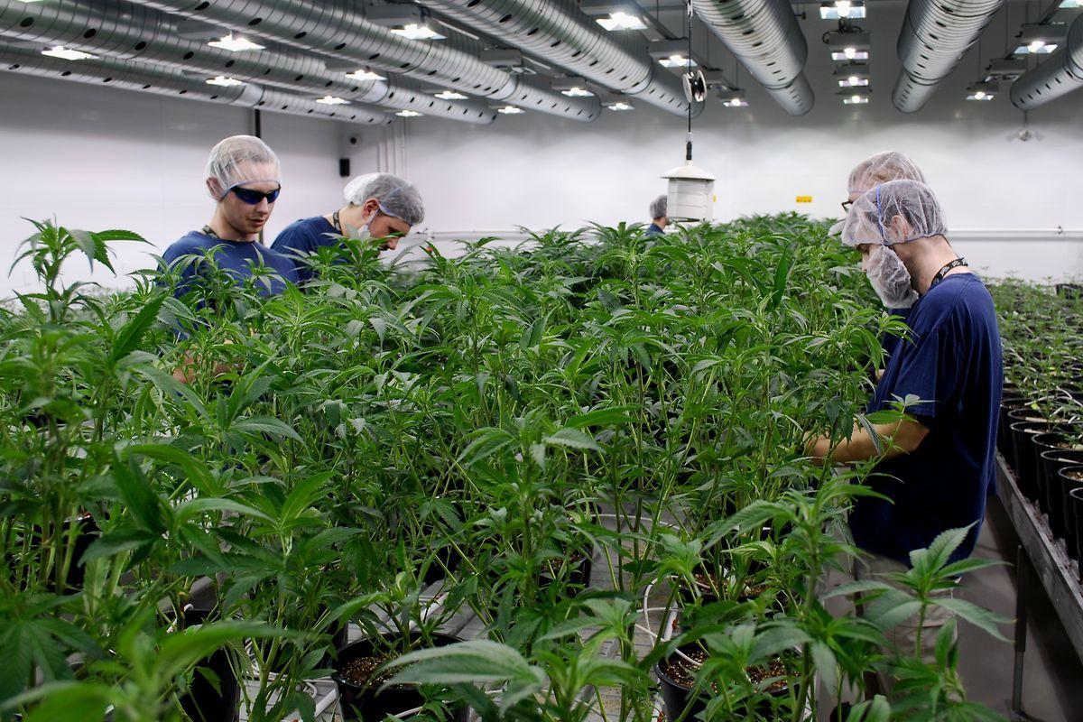 Bei tropischen Temperaturen wachsen die Pflanzen heran. Die Mitarbeiter tragen Haarnetze und Handschuhe, einige auch Mundschutz.