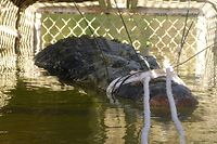 """This handout photo taken on July 9, 2018 and released on July 10 by the Northern Territory Parks and Wildlife shows a large saltwater crocodile weighing 600 kilograms (1,328 pounds) in a trap after being caught after an eight-year hunt, in the Northern Territory town of Katherine. The 4.7-metre (15.4-foot) beast was found in a trap downstream from the northern outback town of Katherine after first being spotted in 2010. / AFP PHOTO / Northern Territory Parks and Wildlife / Handout / --- EDITORS NOTE --- RESTRICTED TO EDITORIAL USE - MANDATORY CREDIT """"AFP PHOTO / Northern Territory Parks and Wildlife"""" - NO MARKETING NO ADVERTISING CAMPAIGNS - DISTRIBUTED AS A SERVICE TO CLIENTS --- NO ARCHIVES ---"""