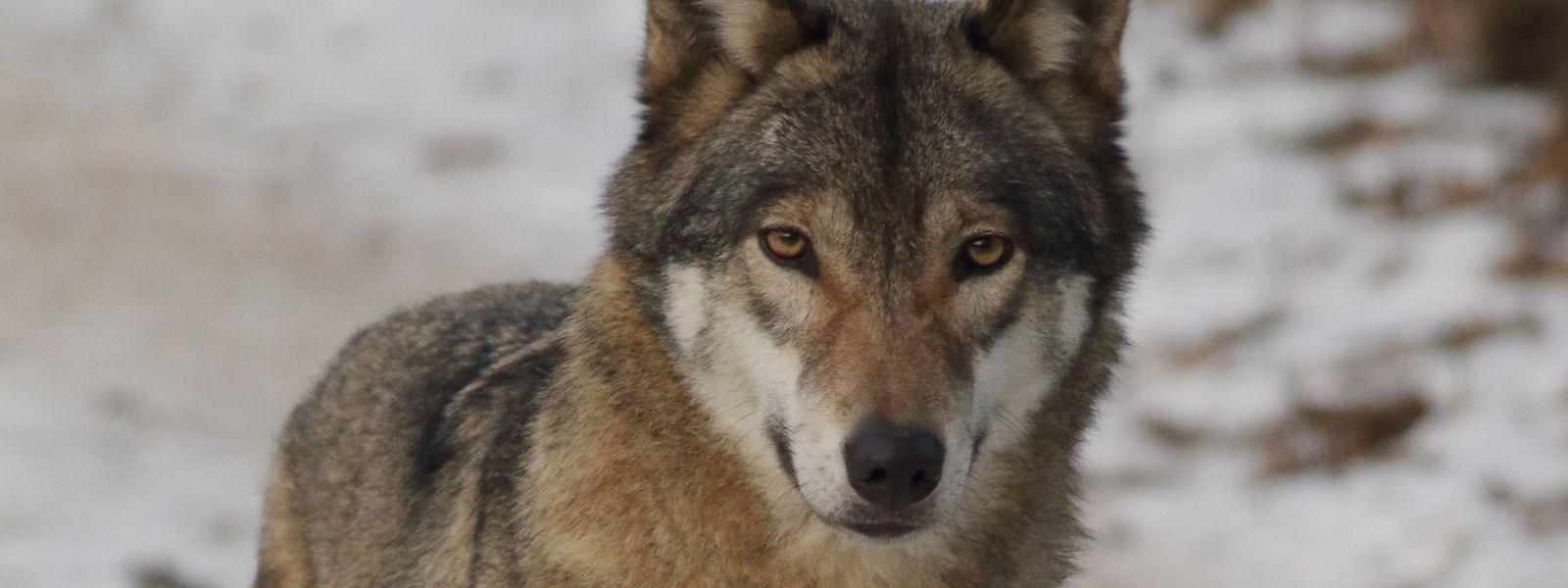 Hierzulande wird der Europäische Wolf (lat. Canis lupus lupus) möglicherweise in den kommenden Jahren wieder heimisch.
