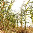 Trockenheit und Landwirtschaft, le 27 Juillet 2018. Photo: Chris Karaba