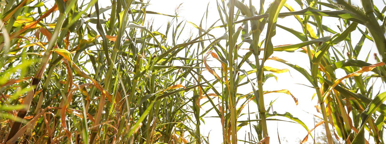 Die Bauern müssen Ernteausfälle hinnehmen.