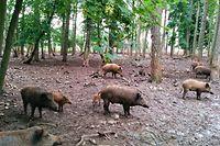 Die Regierung hält an der Treibjagd als Instrument zur Regulierung des Wildschweinbestands fest.
