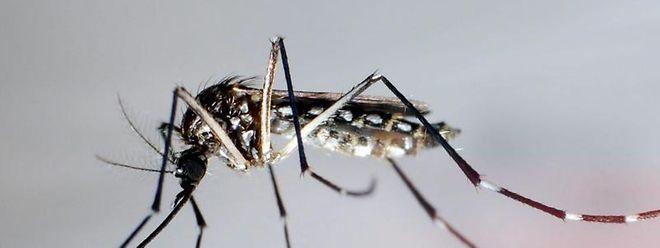 Das Dengue-Fieber wird vor allem durch den Stich der Mücke Stegomyia aegypti übertragen.