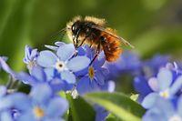 Den Honigbienen geht es vergleichsweise gut. Aber besonders die Wildbienen, wie diese gehörnte Mauerbiene, werden selten.