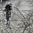 A man bikes under blooming cherry trees during winter time in Berlin, Germany, December 22, 2015. REUTERS/Hannibal Hanschke