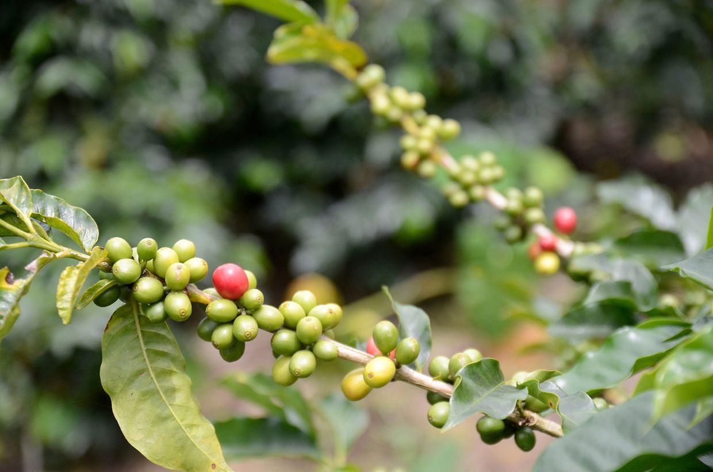 Vom Strauch in die Tasse: Das Fruchtfleisch der Kaffeekirschen ist zu schade zum Wegwerfen - es lässt sich getrocknet gut für Cascara verwenden.