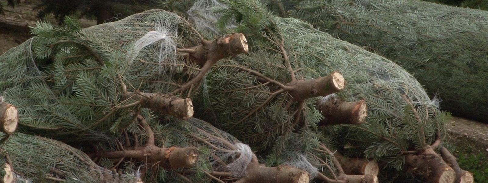 Pro Jahr werden in Luxemburg rund 100 000 Weihnachtsbäume verkauft.