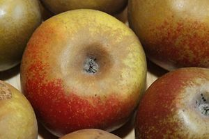 23.09.2011 Alte Obstsorten, Apfel, Graue franzoesische Renette