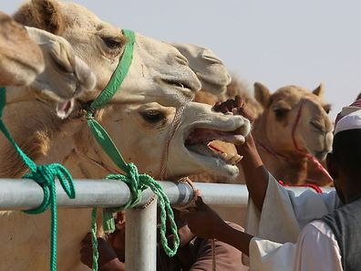 """Veterinary staff check a camel at the Tharb camel hospital in the Qatari desert on December 13, 2015.  Situated almost as far west as it is possible to go in Qatar, the hospital is around an hour's drive and a world away from the ultra-modern capital, Doha. The reason for its remoteness is the fact that it not only is a hospital, but also a breeding centre for camels through embryo transfer and artificial insemination and it needs to be isolated to protect its valuable """"crops"""". The hospital is the only such facility in Qatar. / AFP PHOTO / KARIM JAAFAR"""