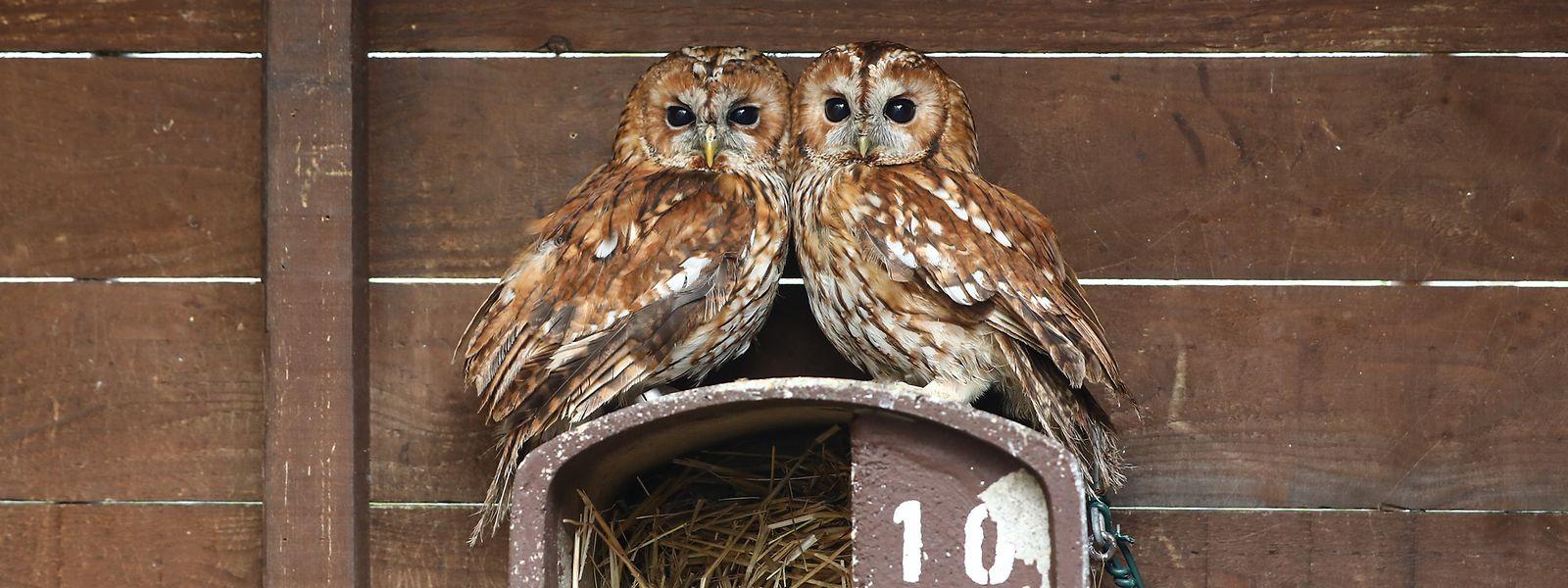 Zwei Käuze kuscheln im Freifluggehege: Die nachtaktiven Tiere werden tagsüber in Ruhe gelassen.