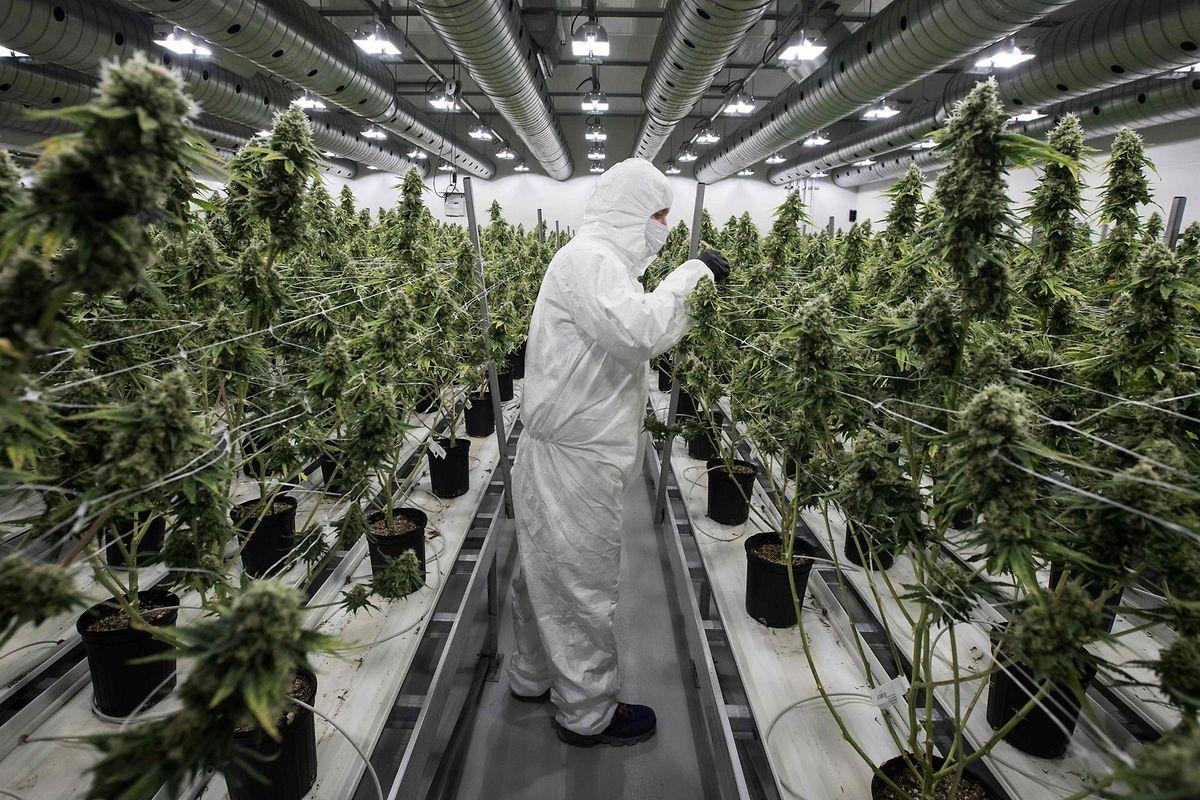 Der Handel mit legalem Cannabis boomt: Nach Einschätzung des US-Marktforschungsunternehmens BDS Analytics könnte der globale Umsatz im legalen Cannabismarkt von umgerechnet mehr als zehn Milliarden Euro im vergangenen Jahr auf knapp 28 Milliarden Euro im Jahr 2022 steigen.