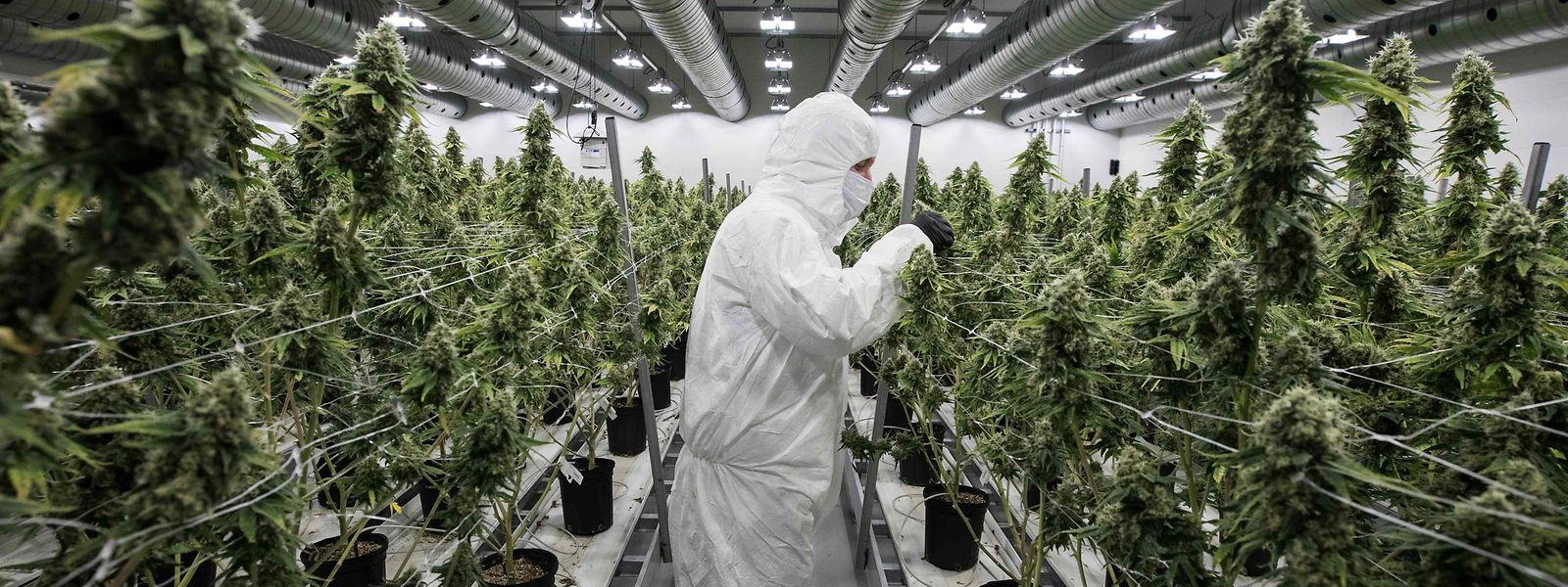 Die Legalisierung soll helfen, den illegalen Rauschgifthandel zu reduzieren.