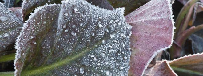 Dem Winter sollte nicht alles weggenommen werden: Raufreif legt sich sehr dekorativ auf die Blätter.