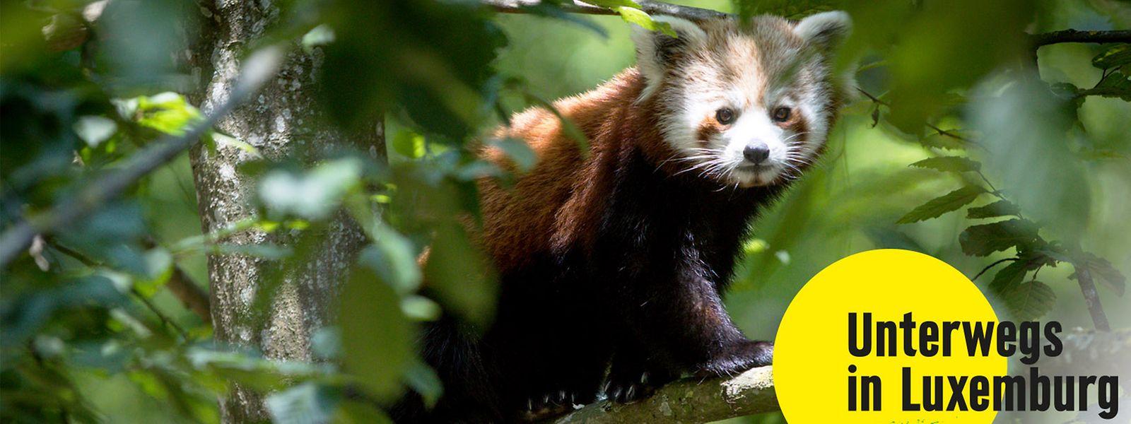 Jedes Jahr empfängt der Tierpark neue Tierarten. Neuankömmling dieses Jahr ist der rote Panda.