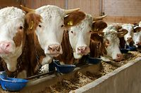 Fleckvieh cows await transportion by a cattle carrier in Altheim near the southern Bavarian town of Landshut November 16, 2006. Around 5,500 Fleckvieh breeding cattle will be exported from Bavaria to Moscow.  REUTERS/Michaela Rehle     (GERMANY)