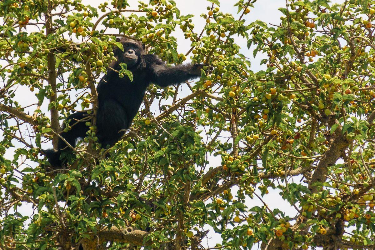 Ein Schimpanse hat sich in einem Baum der Savanne niedergelassen.