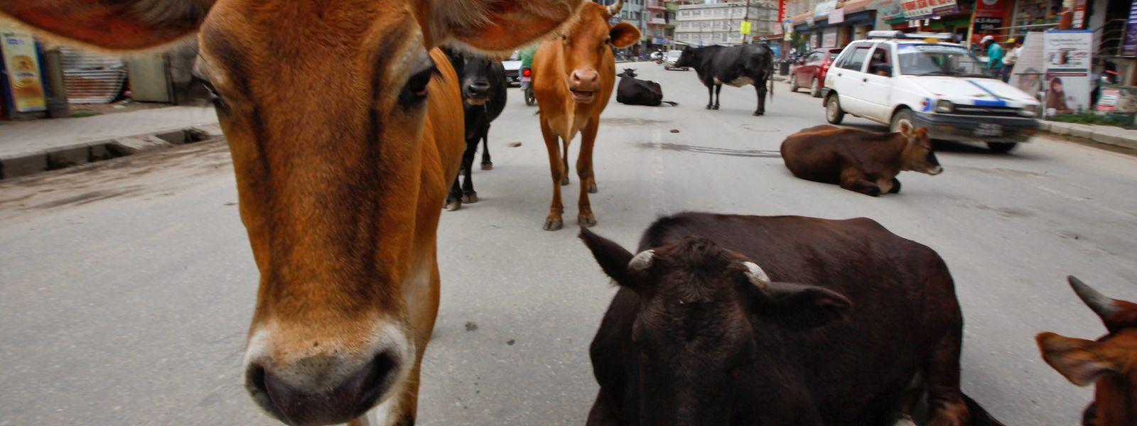 Ein Gruppe Kühe ruht sich mitten auf einer Straße der Hauptstadt aus.