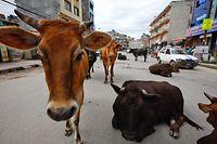 ARCHIV - 06.07.2012, Nepal, Kathmandu: Ein Gruppe Kühe ruht sich mitten auf einer Straße der Hauptstadt aus. (zu dpa-Korr «Kühe retten auf dem Motorrad») Foto: Narendra Shrestha/EPA/dpa +++ dpa-Bildfunk +++