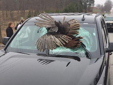 Der dicke Vogel überlebte den Aufprall nicht. Ein Zeuge bekam das Tier geschenkt.
