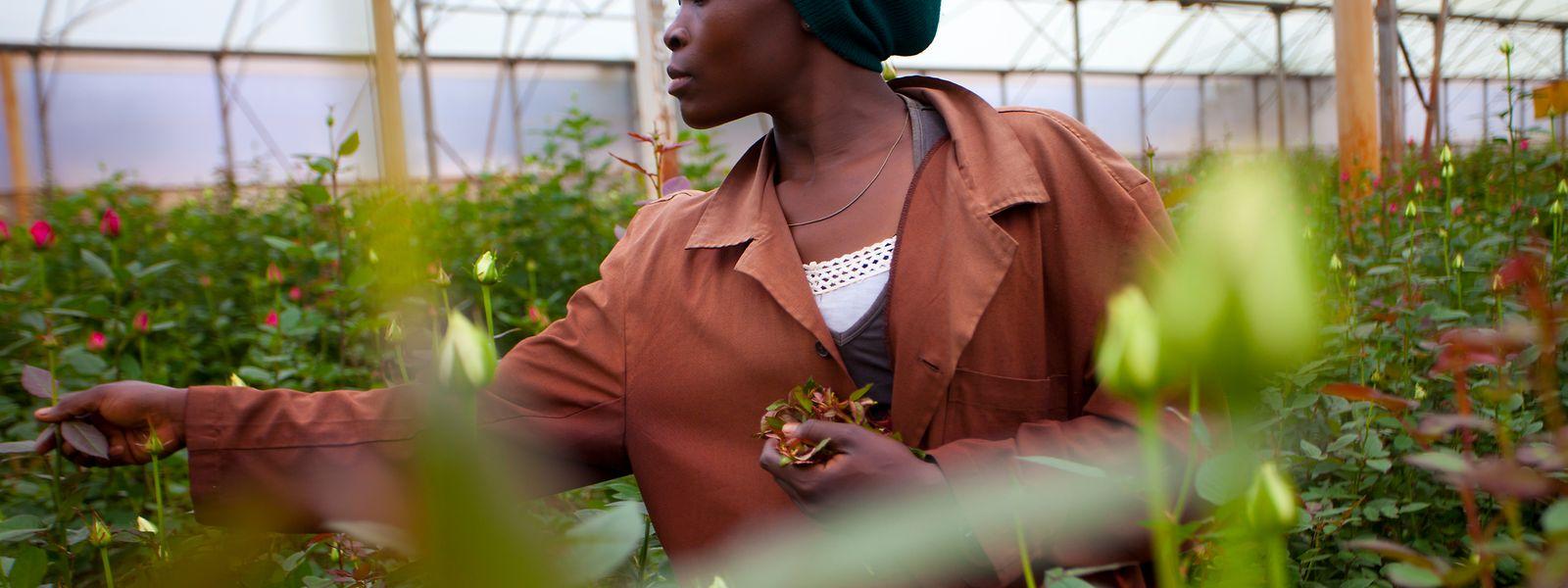 Etwa die Hälfte der Rosen, die in Luxemburg verkauft werden, stammt aus Fairtrade-zertifizierten Plantagen.