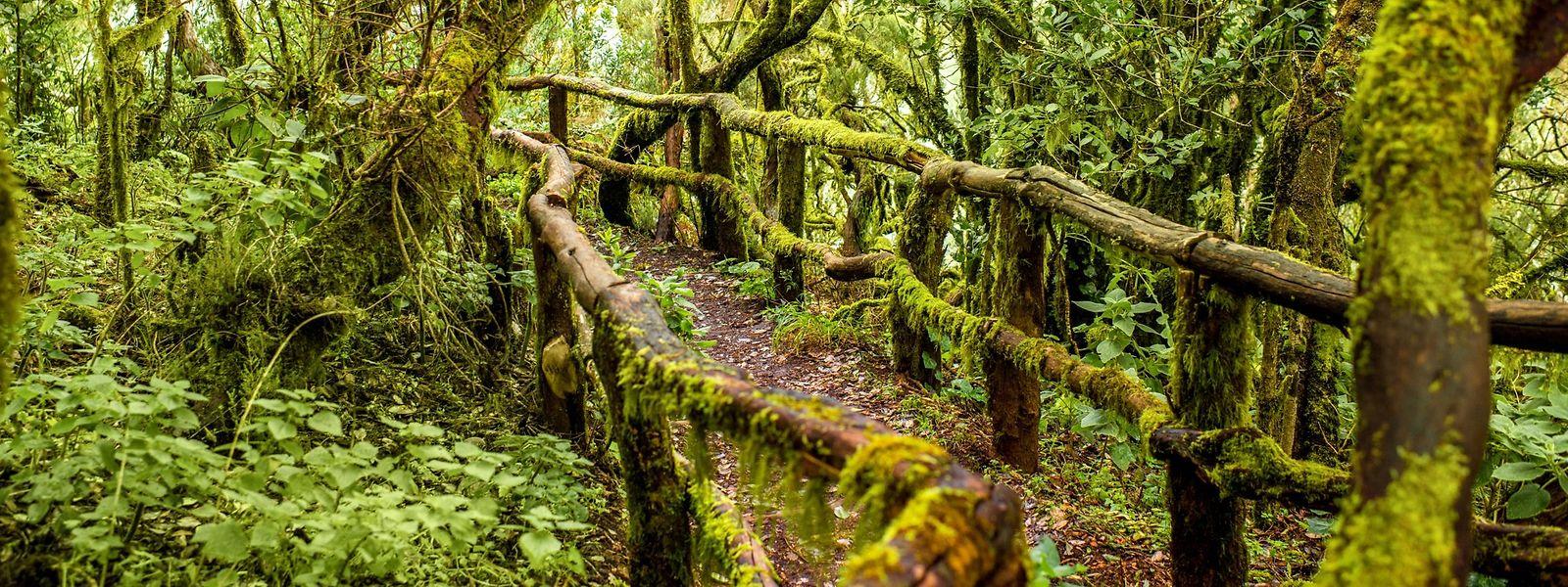 Gäste aus Mitteleuropa können im Garajonay-Nationalpark auf La Gomera auch im Winter die volle Pracht der Natur erleben.