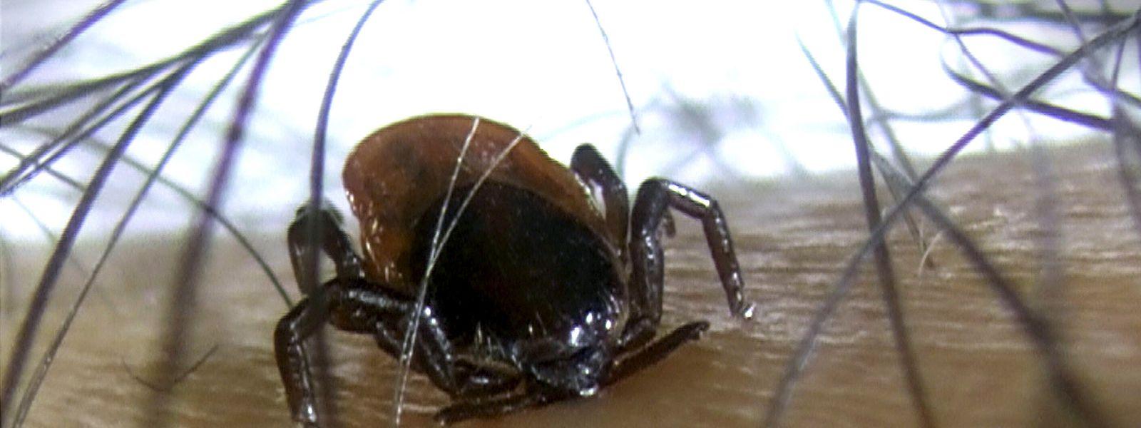 Nach einem Aufenthalt im Grünen empfiehlt es sich, den Körper genau auf die winzigen Zecken zu untersuchen.