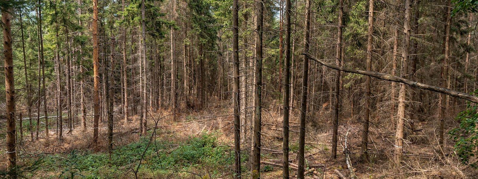 L'inventaire phytosanitaire réalisé cet été dans les forêts montre que seuls 13,4 % de tous les arbres sont sains, contre encore 31,8 % l'an passé.